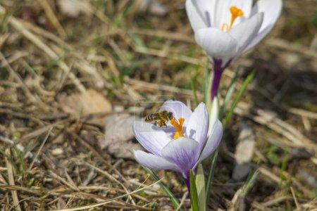 Photo pour Close-up of spring crocuses, selective focus - image libre de droit