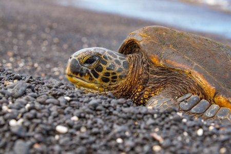 Photo pour La tortue de mer verte débarque pendant la saison de ponte des œufs sur l'île Hawaï. - image libre de droit