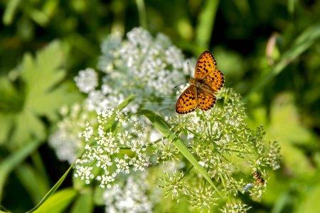 Photo pour Beau papillon lumineux Boloria selene assis sur une fleur de champ blanc dentelle Reine Annes . - image libre de droit