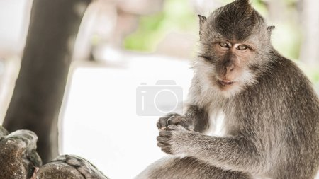 Rhesus Macaque monkey at Monkey Beach in Phi Phi I...