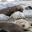 Female Southern Elephant seals and male seals in t...