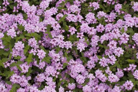 Garden bed full of brightly coloured violet flowers