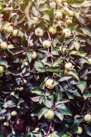 Fresh apples hanging on tree in sunbeams