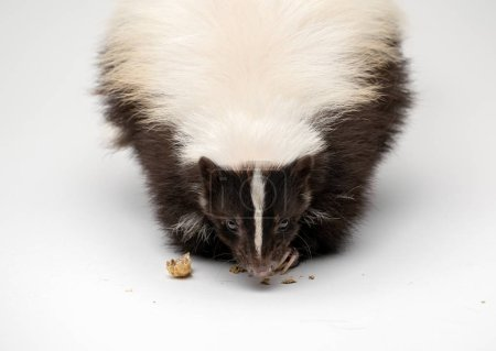Striped Skunk - on White Background Isolated