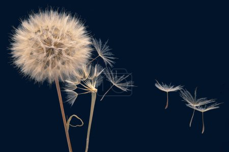 Photo for Dandelion seeds fly from a flower on a dark blue background. botany and bloom growth propagation. - Royalty Free Image