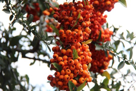 Photo for Orange rowan berries on tree branches - Royalty Free Image