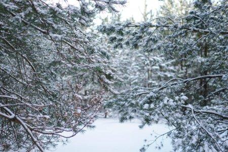Photo pour Beau fond d'hiver avec pin dans une forêt enneigée. Beaux arbres de Noël dans une dérive de neige et des flocons de neige. Photo de stock pour la nouvelle année - image libre de droit