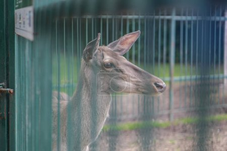 Photo for Deer in the cage of the zoo on the background of the house and trellises. Animal mockery. Hunting grounds. - Royalty Free Image