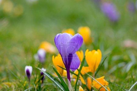 Blooming Spring Crocus flowers