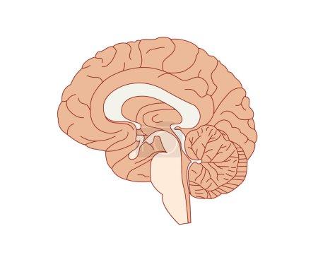 Brain anatomy vector illustration