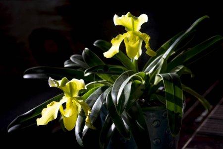 Photo pour Vénus slipper fleurs orchidées ou orchidées paphiopedilum sur le fond noir - image libre de droit