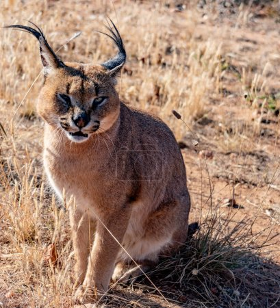 Caracal cat looks scans his surroundings for food
