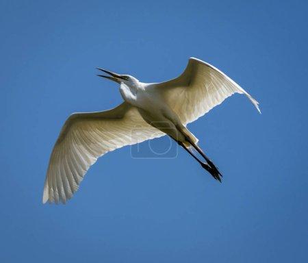 Photo pour Les grandes aigrettes volent au-dessus du ciel aquatique - image libre de droit