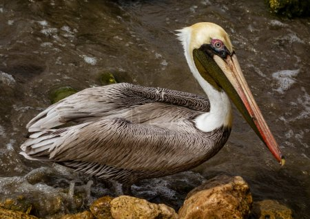 Photo for Brown Pelican on the shore in Columbia - Royalty Free Image