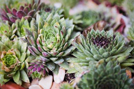 Perennial plant growing in flower pot. Sempervivum in nature