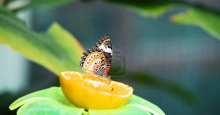 Picture of beautful colorful butterfly being peacefully on lemon