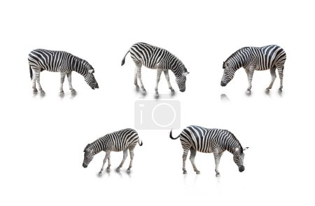 A portrait of Zebras in many poses, isolated in wh...