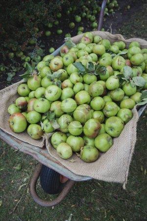 Photo pour Un gros plan de fraîchement cueillies pommes vertes qui ont été recueillis dans une brouette - image libre de droit