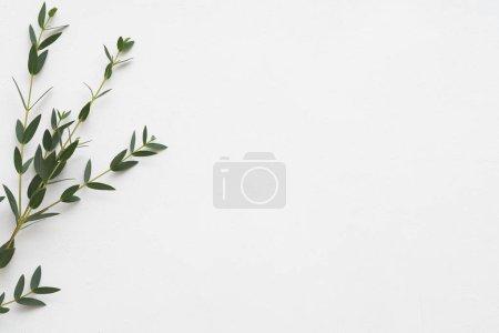 Photo pour Composition florale minimaliste. Eucalyptus sur fond blanc. Thérapie aromatique. Espace de copie . - image libre de droit