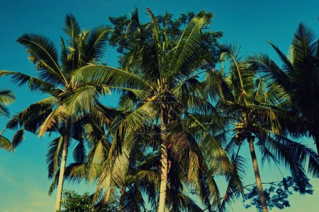 Contrasting green leaves palm trees against a bright blue sky. Palm trees at beach. Travel, summer, vacation and tropical concept. Coconut palm trees, beautiful tropical background. Vintage toned.