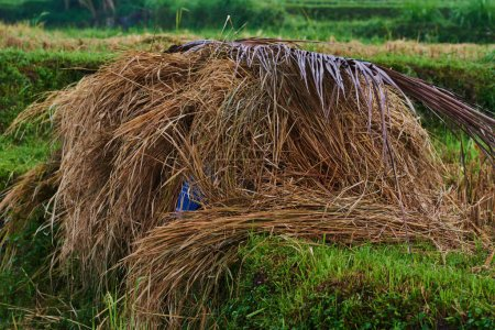 Rice straw hay in paddy field. Harvested paddy rice field, dried straw under the sunlight of harvest season. Straw after harvest. Rice cultivation. Agriculture concept. Harvesting time. Farm, paddy.