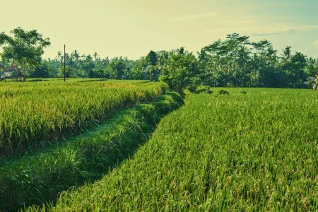 lose up of yellow green rice field. Autumn rice field of good harvest. Agriculture. Harvesting time. Farm, paddy field. Mature harvest. Lush gold fields of the countryside. Organic food.