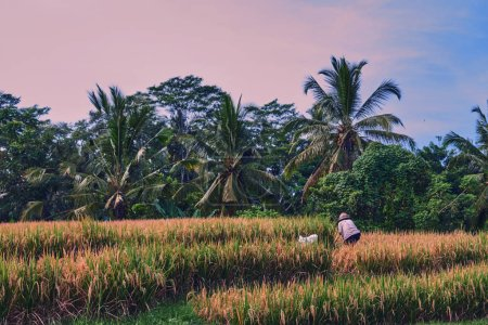Agriculture, gold rice fields and terrace. Nature and landscape. The autumn season. Harvesting time. Farmers harvest their crop by the traditional method, use the sickle. Rural working in plantation.