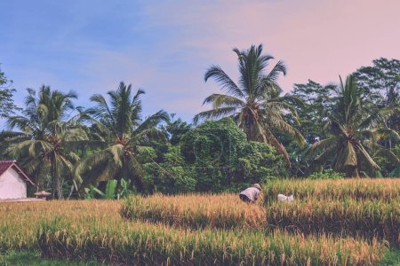 Photo for Agriculture, gold rice fields and terrace. Nature and landscape. The autumn season. Harvesting time. Farmers harvest their crop by the traditional method, use the sickle. Rural working in plantation. - Royalty Free Image
