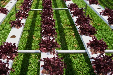 Organic green lettuce small plants or salad vegetable grown from hydroponics system with liquid fertilizer solution in water without soil at greenhouse hydroponics farm. Concept of healthy eating.