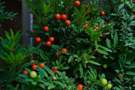 Solanum capsicastrum. Flowers in the orangery. Cultivation of various colorful flowers in a greenhouse. Beautiful flowers at shop. Gardening. Garden center. Colorful variety of flowers in a greenhouse