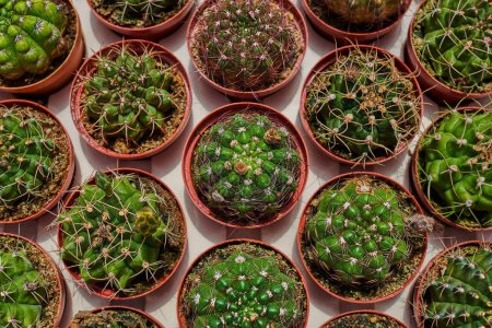 Different kinds of cactus in market. Top view of many cactus. Cacti plantation in nursery. Flowers at shop. Garden center. Flowers in a greenhouse. Houseplants in the orangery. Natural background.