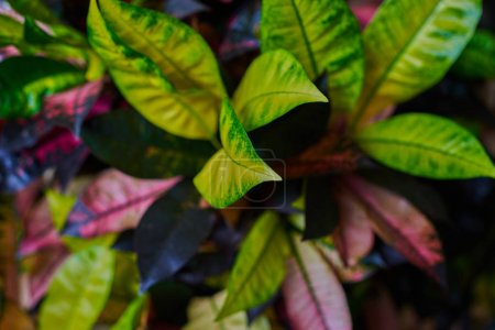 Codiaeum variegatum (garden croton or variegated croton) foliage with flowers, Croton leaves on branch in nature garden. Beautiful, colourful, variegated flower with green, red and yellow leaves.