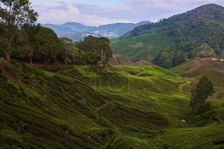 Tea plantation in  forest in the early morning wit...