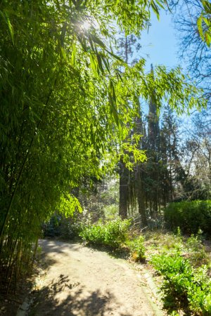 Photo for Bamboo trees nature view - Royalty Free Image