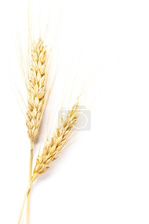 dry wheat ears isolated on white background
