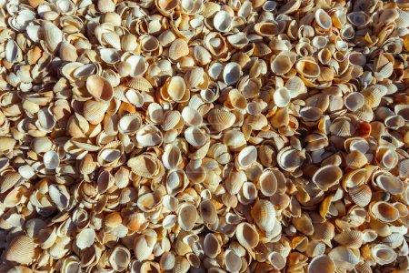 Natural sea shells background