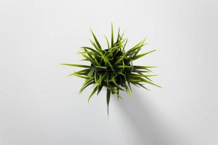 Photo pour Vue du dessus de la plante thuja en pot isolé sur blanc - image libre de droit