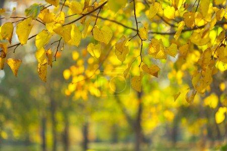 Photo pour Gros plan des feuilles jaune aytumn - image libre de droit