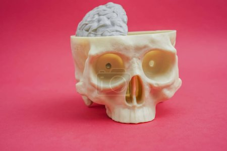 Human skull with half, part of gray brain over red paper background