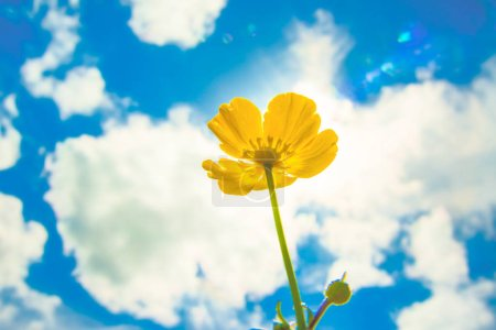 Photo for Wild spring field yellow flower  in the sunlight. one Flower against sun rays and blue sky with clouds. - Royalty Free Image