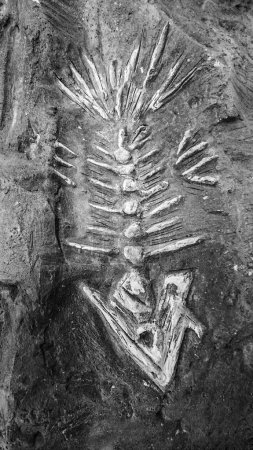 fish fossil skeleton is a genus of extinct marine reptiles of the early Jurassic period