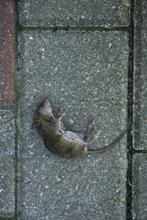 Dead gray mouse on paving