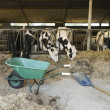 Cows standing in an outdoor stable and eating dry ...