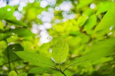 Photo pour Feuilles vertes sur fond bokeh. saison printanière . - image libre de droit
