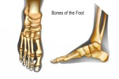 Bones the of foot top and medial view