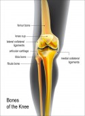 Light yellow realistic bones the of knee