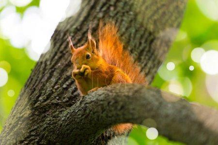 Rotes Eichhörnchen sitzt auf einem Baum