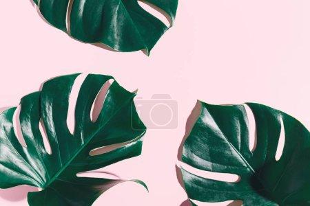 Foto de Hojas de monstera verde sobre fondo rosa - Imagen libre de derechos