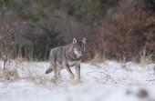 "Постер, картина, фотообои "",волк, лес, снег, зима"""