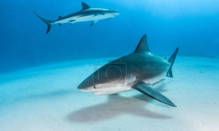 Picture shows a Bulls shark